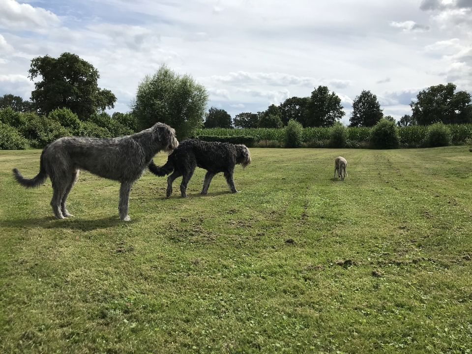 A whippet and her Wolfhounds